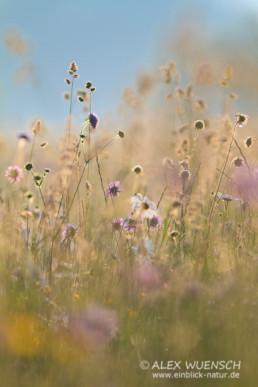 Alex Wünsch Naturfotografie Slowenien Sommerwiese
