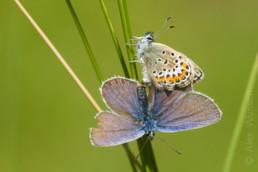 Alex Wünsch Männchen Argus-Bläuling Plebejus argus Naturfotografie Schmetterling Weibchen Kopula