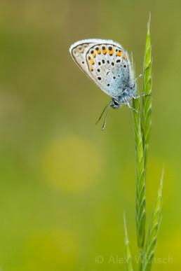 Alex Wünsch Männchen Argus-Bläuling Plebejus argus Naturfotografie Schmetterling
