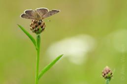 Alex Wünsch Naturfotografie Brauner Feuerfalter Lycaena tityrus Männchen