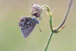 Alex Wünsch Silbergrüner Bläuling Polyommatus coridon Kaiserstuhl Schmetterling