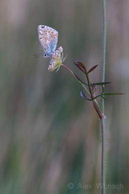 Alex Wünsch Silbergrüner Bläuling Polyommatus coridon Kaiserstuhl