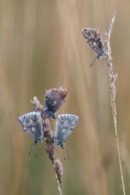 Alex Wünsch Silbergrüner Bläuling Polyommatus coridon