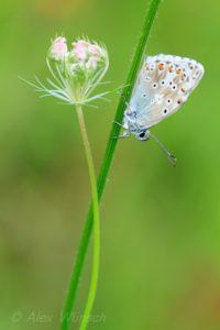 Alex Wünsch Männchen Silbergrüner Bläuling Polyommatus coridon