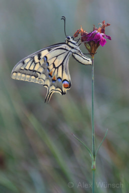Alex Wünsch Naturfotografie Schwalbenschwanz Papilio machaon