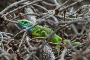 Alex Wünsch Naturfotografie Smaragdeidechse Lacerta viridis