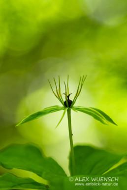 Alex Wünsch Naturfotografie Slowenien Einbeere Paris quadrifolia