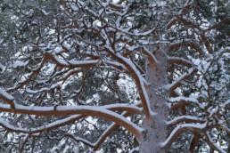 Alex Wünsch Naturfotografie Finnland Winter Schnee Kiefer