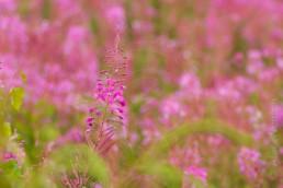 Alex Wünsch Naturfotografie Nordkarelien Finnland Weidenröschen