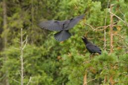 Alex Wünsch Naturfotografie Nordkarelien Finnland Raben