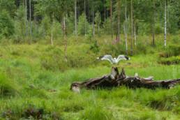 Alex Wünsch Naturfotografie Nordkarelien Finnland Möwe