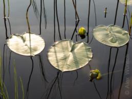 Alex Wünsch Naturfotografie Nordkarelien Finnland Seerosen