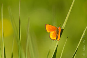 Alex Wünsch Naturfotografie Nordkarelien Finnland Schmetterling Großer Feuerfalter Lycaena dispar