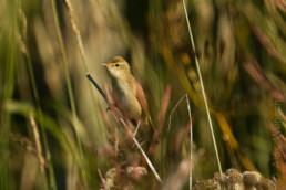 Alex Wünsch Naturfotografie Nordkarelien Finnland Vogel