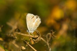 Alex Wünsch Naturfotografie Nordkarelien Finnland Schmetterling Bläuling