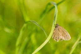 Alex Wünsch Naturfotografie Nordkarelien Finnland Schmetterling Schornsteinfeger
