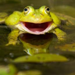 Alex Wünsch Alexandra Wünsch Einblick-Natur Fotografie Naturfotografie Frühling Frosch Lachen rana esculenta Komplex