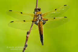 Alex Wünsch Naturfotografie Vierfleck Libelle Libellula quadrimaculata