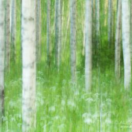 Alexandra Wünsch Alex Einblick Natur Wettbewerb GDT Naturfotografie fotoforum award Birken Wald Finnland