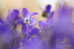 Alex Wünsch Alexandra Wünsch Einblick-Natur Fotografie Naturfotografie Frühling Veilchen Viola