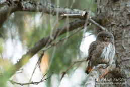 Alex Wünsch Naturfotografie Finnland Sperlingskauz Glaucidium passerinum