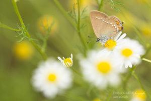 Alex Wünsch Alexandra Wünsch Einblick-Natur Fotografie Naturfotografie Sommer Schmetterling Kleiner Schlehen-Zipfefalter Satyrium acaciae Kamille