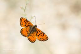 Alex Wünsch Alexandra Wünsch Einblick-Natur Fotografie Naturfotografie Sommer Frankreich Provence Roter Schekcenfalter Melitaea didyma