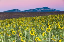 Alex Wünsch Alexandra Wünsch Einblick-Natur Fotografie Naturfotografie Sommer Lavendel Feld Frankreich Provence Sonnenblumen