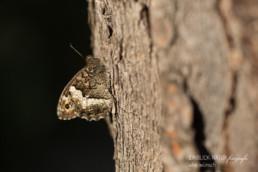 Alex Wünsch Alexandra Wünsch Einblick-Natur Fotografie Naturfotografie Sommer Frankreich Provence Großer Waldportier Hipparchia fagi