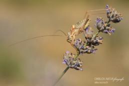 Alex Wünsch Alexandra Wünsch Einblick-Natur Fotografie Naturfotografie Sommer Lavendel Frankreich Provence Sattelschrecke Ephippiger