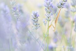 Alex Wünsch Alexandra Wünsch Einblick-Natur Fotografie Naturfotografie Sommer Lavendel Frankreich Provence Gottesanbeterin Männchen