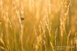 Alex Wünsch Alexandra Wünsch Einblick-Natur Fotografie Naturfotografie Sommer Lavendel Frankreich Provence Bläuling