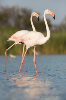Alex Wünsch Alexandra Wünsch Einblick-Natur Fotografie Naturfotografie Sommer Frankreich Camargue Rosaflamingo Flamingo Phoenicopterus roseus