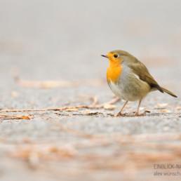 Alex Wünsch Naturfotografie einblick Natur Rotkehlchen Herbst Erithacus rubecula