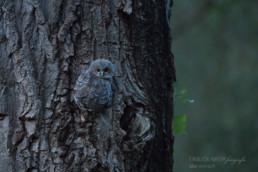 Alex Wünsch Alexandra Wünsch Einblick-Natur Fotografie Naturfotografie Frühling Waldkauz Ästling Jungtier Strix aluco