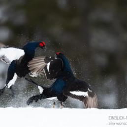 Alex Wünsch Alexandra Wünsch Einblick-Natur Fotografie Naturfotografie Frühling Birkhähne Balzkampf Finnland Tetrao tretrix