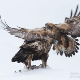 Alex Wünsch Alexandra Wünsch Einblick-Natur Fotografie Naturfotografie Steinadler Paar Schnee Winter Finnland Aquila chrysaetos