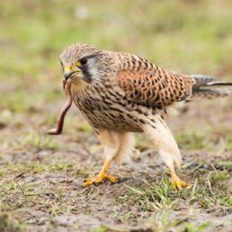 Alex Wünsch Alexandra Wünsch Einblick-Natur Fotografie Naturfotografie Turmfalke Beute Falco tinnunculus Falke