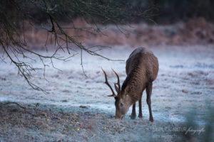 Alex Wünsch Naturfotografie Einblick-Natur Hirsch Rothirsch Wahner Heide cervus elaphus