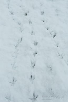 Alex Wünsch Alexandra Wünsch Einblick-Natur Fotografie Naturfotografie Schnee Winter Düsseldorf Garath Urdenbacher Kämpe Fasan Phasianus colchicus Fährte Spur Trittsiegel