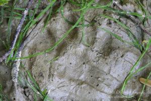 Alex Wünsch Alexandra Wünsch Einblick-Natur Fotografie Naturfotografie Spuren Hauskatze Katze Fährte Trittsiegel
