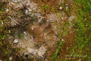Alex Wünsch Alexandra Wünsch Einblick-Natur Fotografie Naturfotografie Tierspur Trittsiegel Braunbär uros arctos Finnland