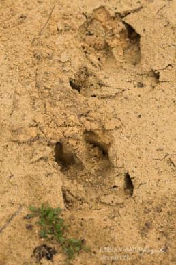Alex Wünsch Alexandra Wünsch Einblick-Natur Fotografie Naturfotografie Spur Fährte Trittsiegel Wildschwein sus scrofa