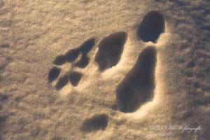 Alex Wünsch Alexandra Wünsch Einblick-Natur Fotografie Naturfotografie Spur Fährte Trittsiegel Finnland Schneehase lepus timidus