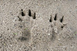 Alex Wünsch Alexandra Wünsch Einblick-Natur Fotografie Naturfotografie Spur Fährte Trittsiegel Feldhase Hinterfüße lepus europaeus