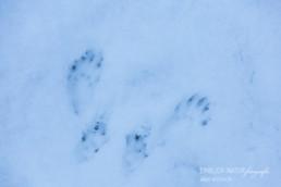 Alex Wünsch Alexandra Wünsch Einblick-Natur Fotografie Naturfotografie Spur Fährte Trittsiegel Eichhörnchen sciurus vulgaris