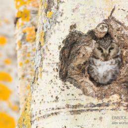 Alex Wünsch Alexandra Wünsch Einblick-Natur Fotografie Naturfotografie Rauhfußkauz, Nest, Höhle, Brut, Winter, Finnland, Aegolius funereus