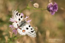 Alex Wünsch Alexandra Wünsch Einblick-Natur Fotografie Naturfotografie Sommer Mosel Apollo Parnassius apollo vinningensis