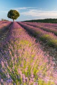 Alex Wünsch Alexandra Wünsch Einblick-Natur Fotografie Naturfotografie Sommer Lavendel Frankreich Provence Baum