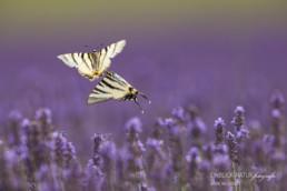 Alex Wünsch Alexandra Wünsch Einblick-Natur Fotografie Naturfotografie Sommer Lavendel Segelfalter Schmetterling Iphiclides podalirius Frankreich